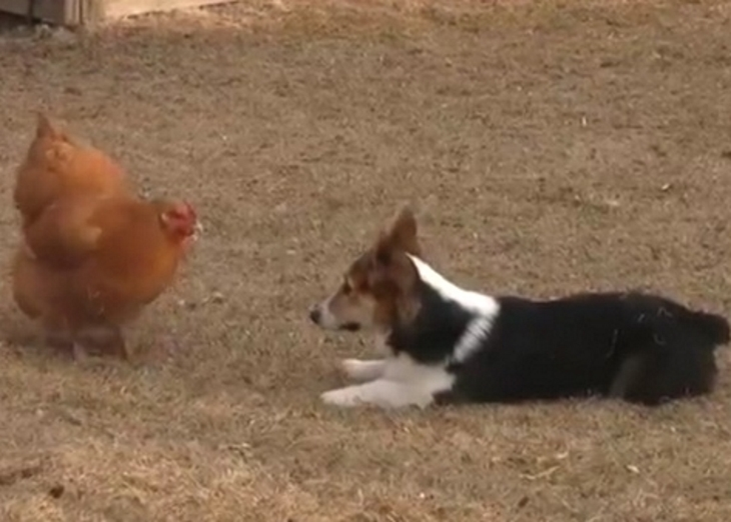 img 59b5f5eeec2af - Corgi Pup Plays With Chicken. Every Move Of This Adorable Duo Is Captured On Camera