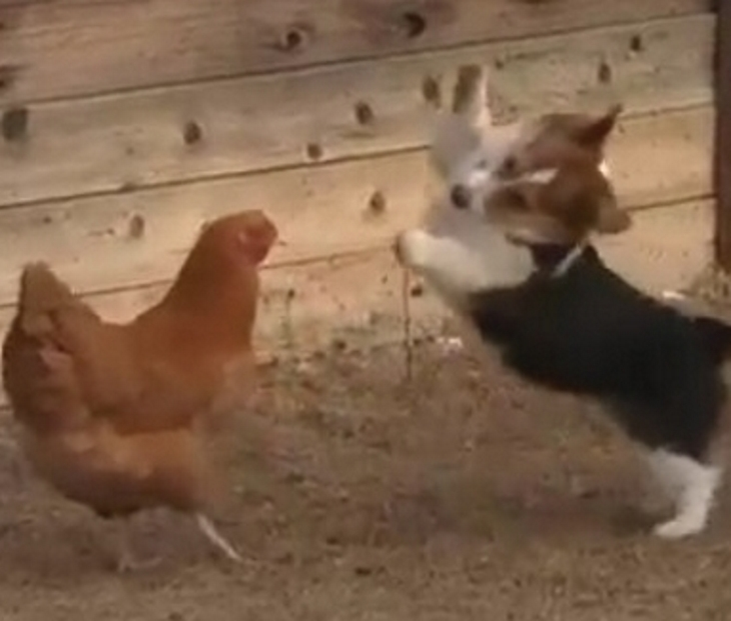 img 59b5f60b8ecdf - Corgi Pup Plays With Chicken. Every Move Of This Adorable Duo Is Captured On Camera