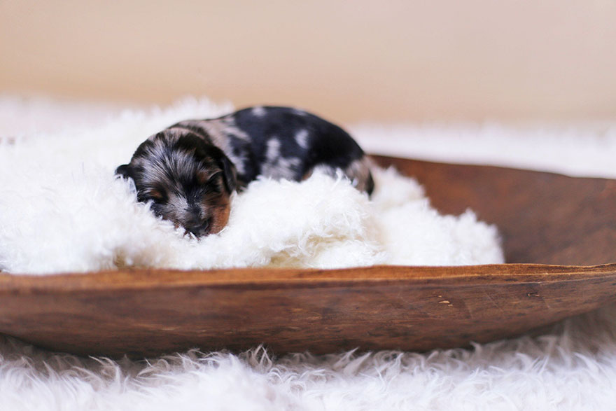 sausage dog maternity photoshoot puppies 1 - Sausage Dog Poses With Her Tiny Sausages For Maternity Photoshoot