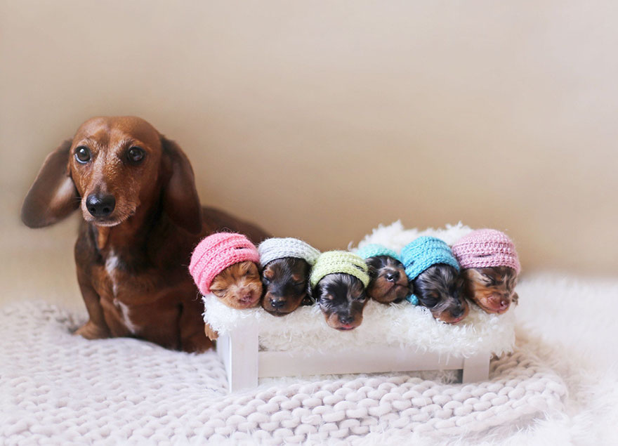 sausage dog maternity photoshoot puppies 2 - Sausage Dog Poses With Her Tiny Sausages For Maternity Photoshoot