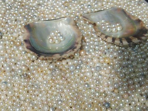 5 609 - 真珠ができる仕組みは?「真珠貝」の知識