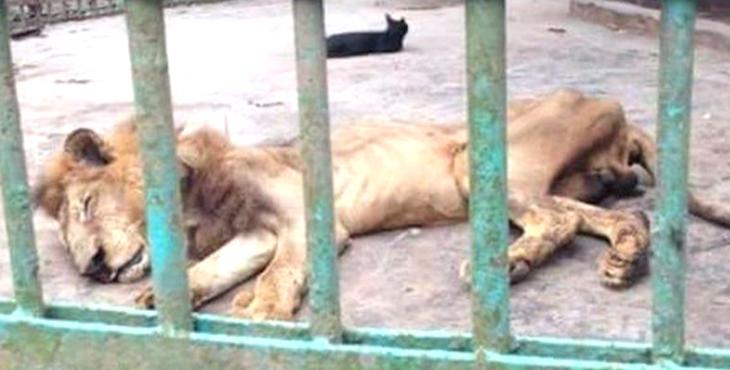 b 1 q 0 p 0 - A l'article de la mort, ce lion continue d'être exposé dans un zoo