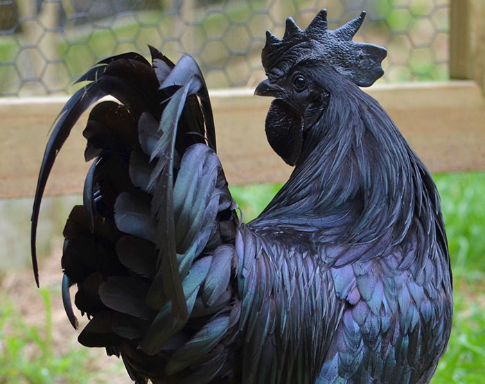 """goth black chicken ayam cemani 16 - This Rare """"Goth Chicken"""" Is 100%, Not Just Its Outside But Its Inside As Well!"""