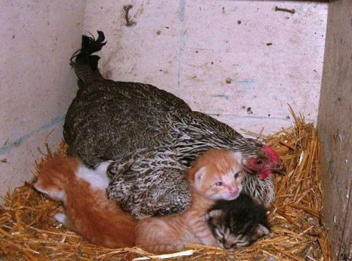 3 45 - 12 simpáticas mamás gallina que se esmeraron en cuidar a sus crías sin importar de qué especie eran.