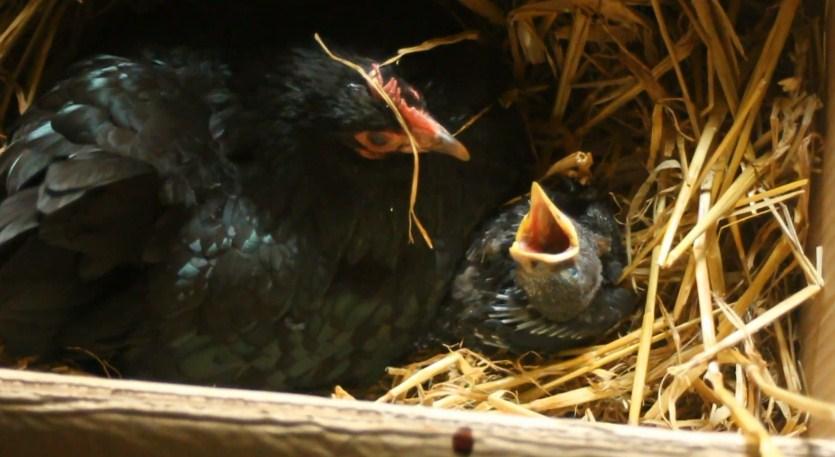 4 34 - 12 simpáticas mamás gallina que se esmeraron en cuidar a sus crías sin importar de qué especie eran.