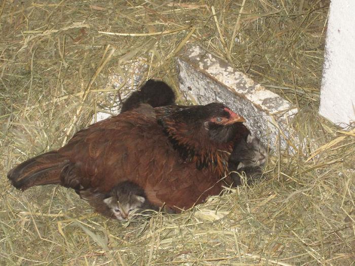 5 23 - 12 simpáticas mamás gallina que se esmeraron en cuidar a sus crías sin importar de qué especie eran.