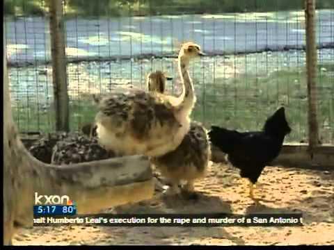 6 21 - 12 simpáticas mamás gallina que se esmeraron en cuidar a sus crías sin importar de qué especie eran.