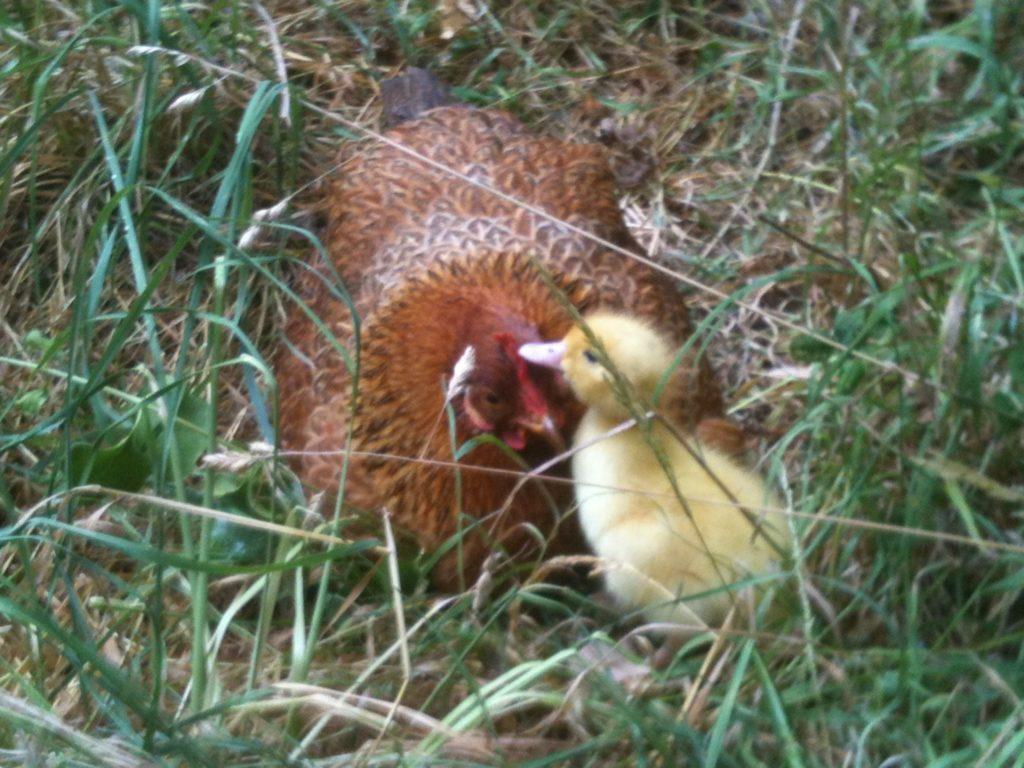 9 15 1024x768 - 12 simpáticas mamás gallina que se esmeraron en cuidar a sus crías sin importar de qué especie eran.