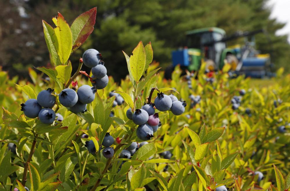 987958 blueberry bailout jpeg 9e9e - 8 razones que te harán comer más arándanos