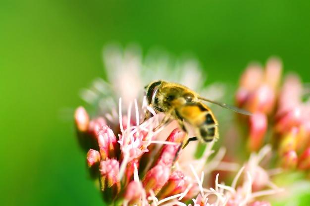 abeja en flores 1160 257 - Gran Bretaña ha prohibido el uso de plaguicidas que exterminan a las abejas