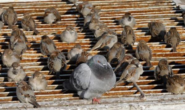 ac0df1d9a3494c1fb4c50653fd289e55 - 당신이 '새끼 비둘기'를 본 적 없는 '진짜' 이유
