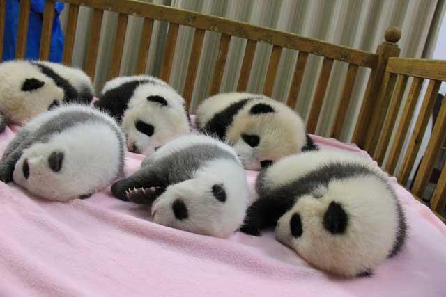 bebes panda gigante 2 - China ofrece una estupenda oportunidad para trabajar en su país ¡Abrazando osos panda!