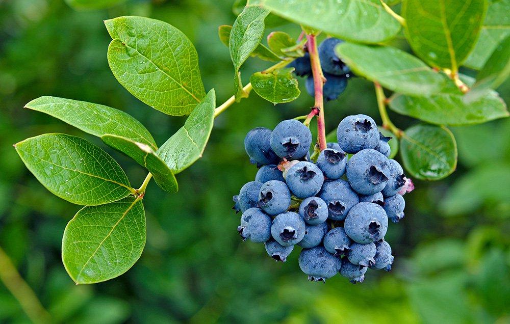 blueberrybush 1000 - 8 razones que te harán comer más arándanos