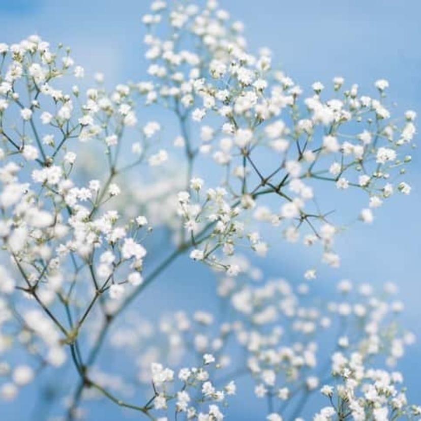 card gypsophila 157335858 727x485 compressed 60 - カスミソウの花言葉が人気!その意味は?