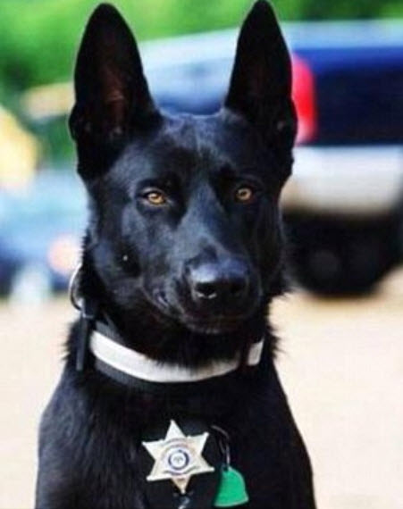 dog saves deputy life 5 - Police Officer Is Assaulted Then Dragged Into A Forest By 3 Criminals But His Furry Partner Is Following Close By