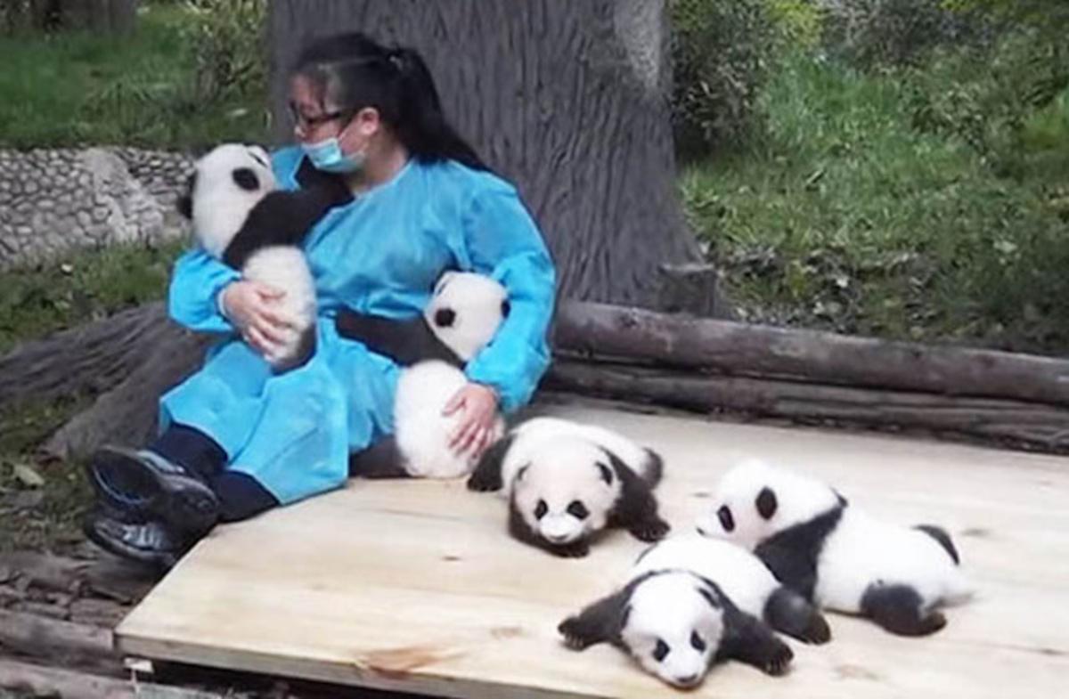 empregos dos sonhos 1 - China ofrece una estupenda oportunidad para trabajar en su país ¡Abrazando osos panda!