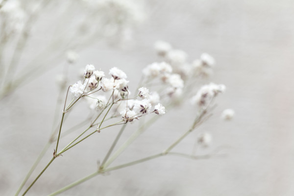 gettyimages 589954714 e1481265860287 - カスミソウの花言葉が人気!その意味は?