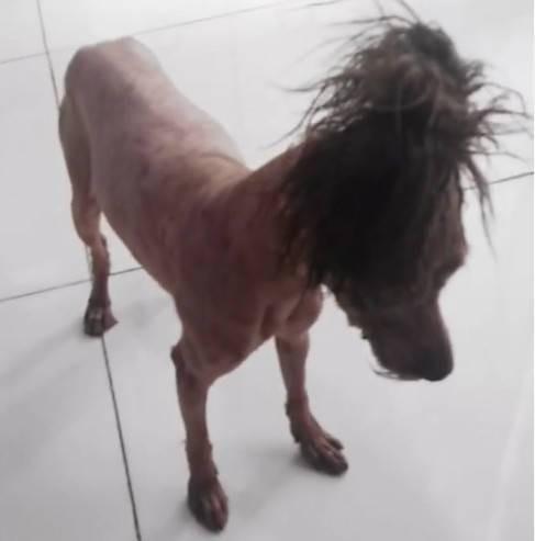 img 5a29cac374a92 - 託爸媽照顧愛犬,一個月回來後貴賓變成一匹馬!?