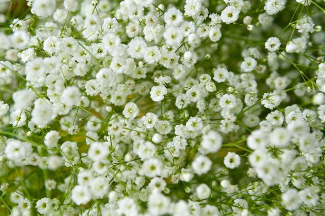 kasumisou - カスミソウの花言葉が人気!その意味は?