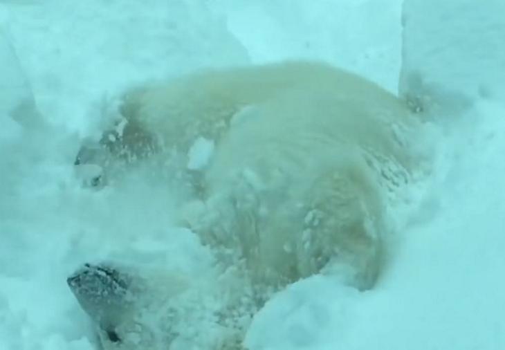 polarbear1 - 動物園因大雪強制閉園一日,攝影機卻拍到動物們超開心玩雪畫面!
