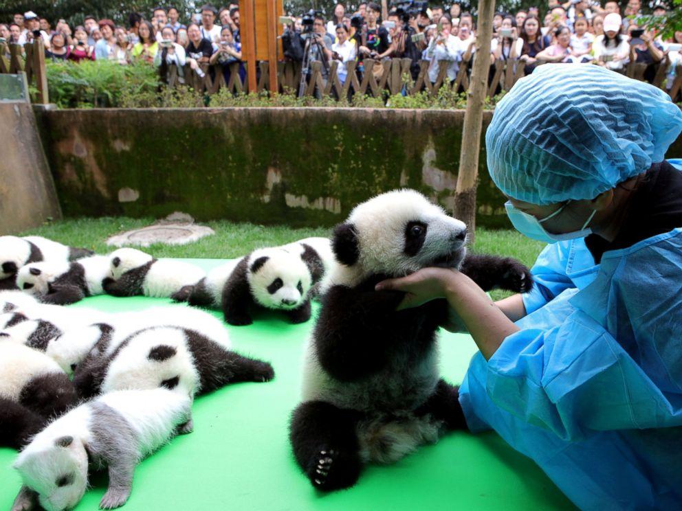 rtr baby pandas 07 jc 160930 4x3 992 - China ofrece una estupenda oportunidad para trabajar en su país ¡Abrazando osos panda!