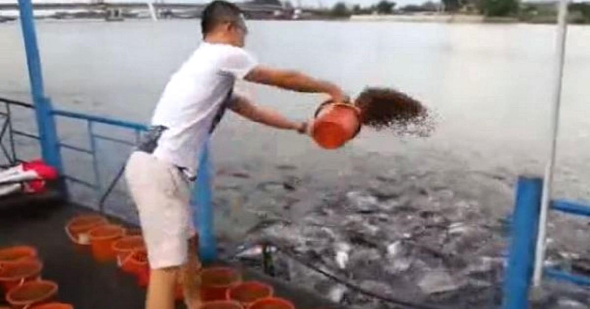 23fish - Homem lança baldes de comida de peixe na água e o que acontece em seguida é simplesmente incrível