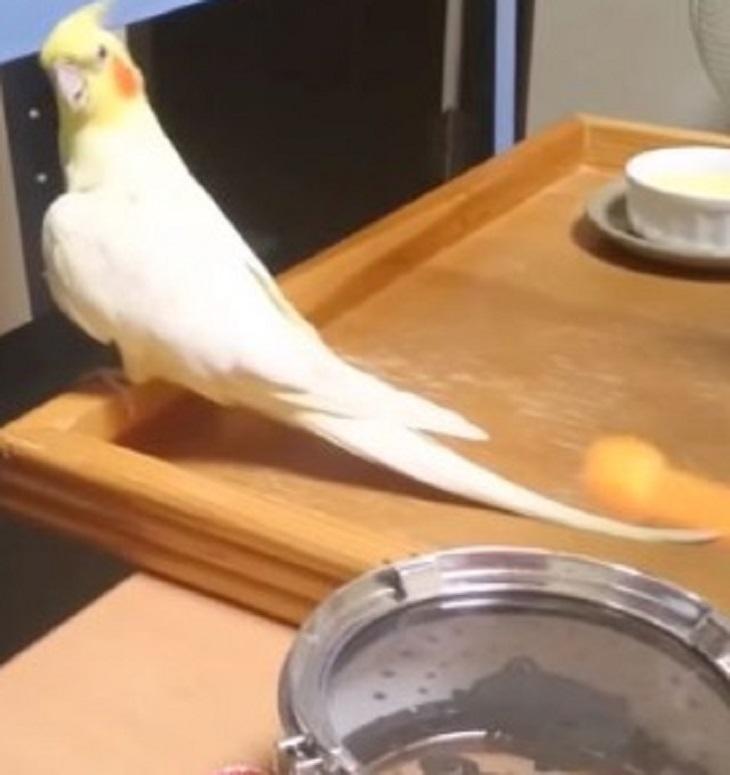 amazing drumming cockatiel bird 1 - Quando o dono toca um tambor, pássaro se aproxima e começa a dar um show!