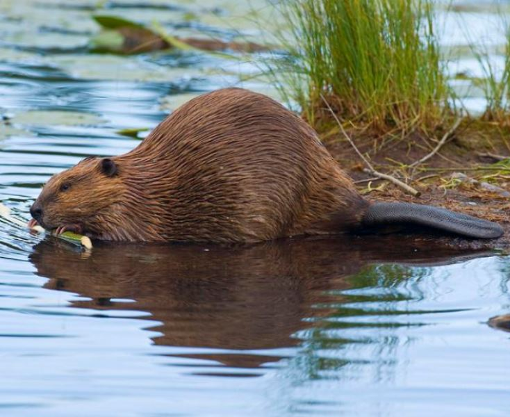 beaver - Husband Tells Wife His Word Is Law. What Kind Of Husband Is He?