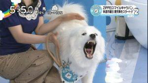 img 4 300x169 - ジップの相棒犬・ジジとププはどうして吠えないの?声帯除去の噂も…