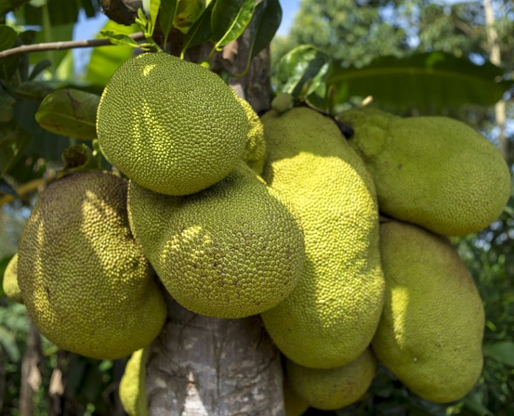 jackfruit2 - This Exotic Fruit, Called 'JackFruit' Can Save Millions From Hunger! And Tastes Just Like Pork...?