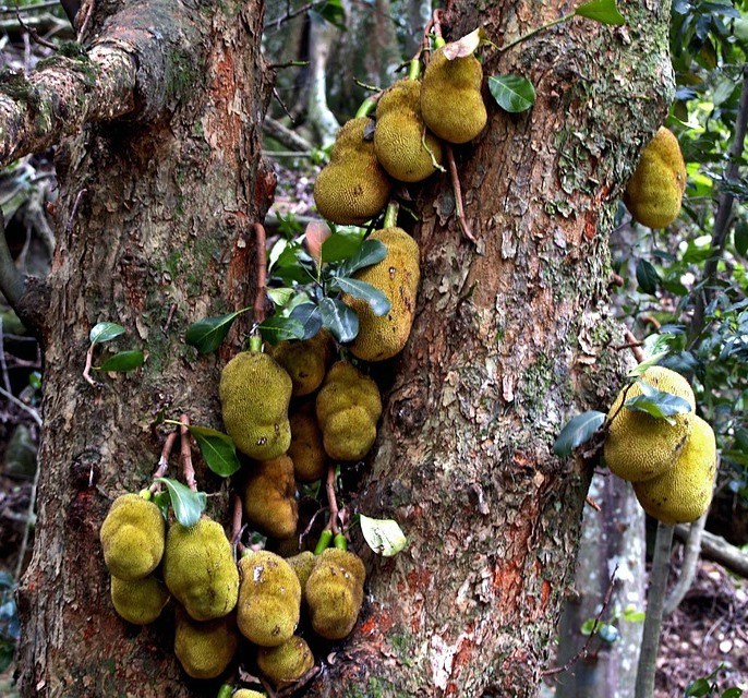 jackfruit5 - This Exotic Fruit, Called 'JackFruit' Can Save Millions From Hunger! And Tastes Just Like Pork...?