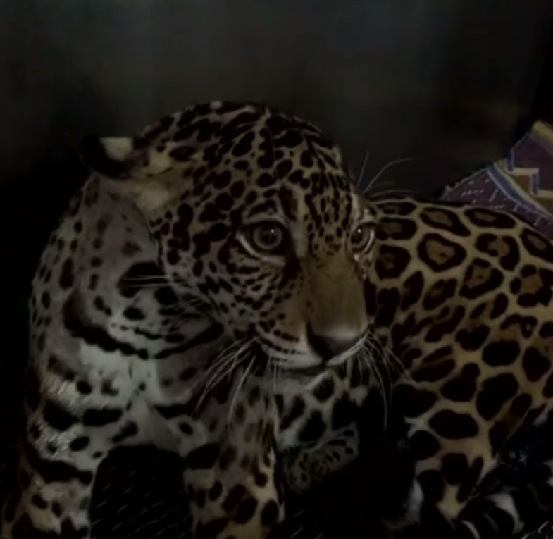 jaguar - Hikers Stumble Upon Paralyzed Jaguar, Vets Check Her X-Ray And Can't Believe Their Eyes