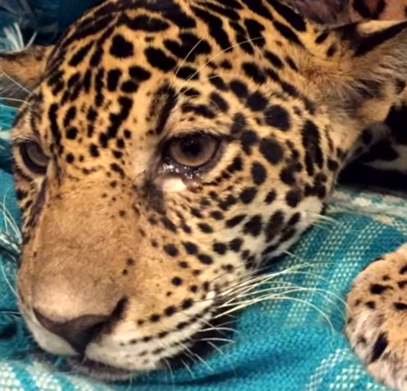 jaguar2 - Hikers Stumble Upon Paralyzed Jaguar, Vets Check Her X-Ray And Can't Believe Their Eyes