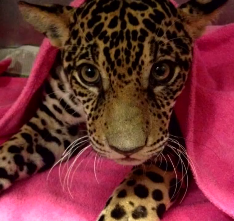 jaguar5 - Hikers Stumble Upon Paralyzed Jaguar, Vets Check Her X-Ray And Can't Believe Their Eyes