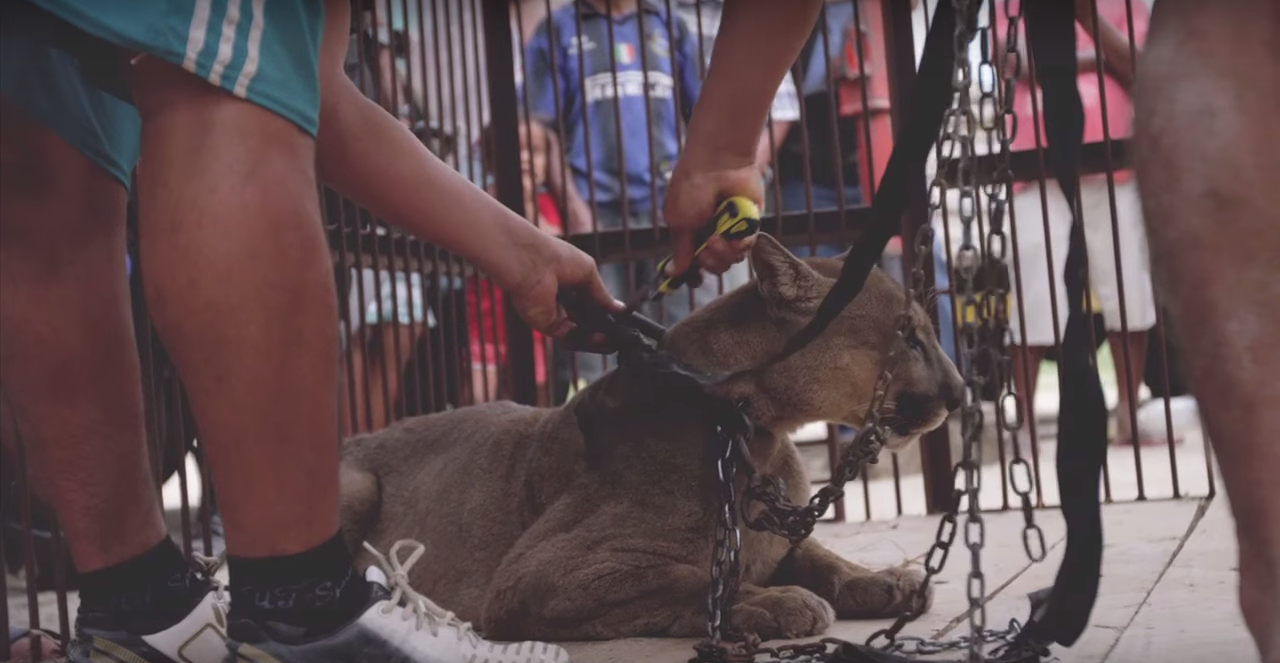 mufasa the mountain lion 2 - This Mountain Lion From the Circus Was Chained Up for years, Had Heartbreaking Reaction When He's Finally Freed