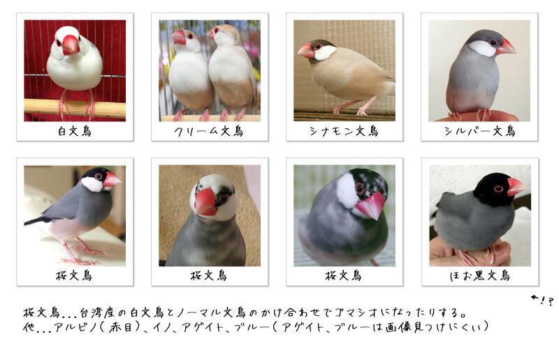 文鳥の種類에 대한 이미지 검색결과