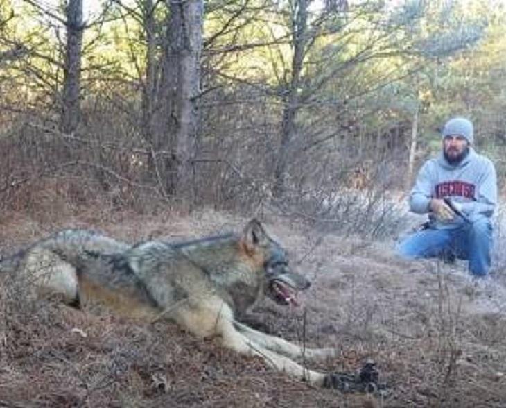 wolf2 - Un loup a été pris au piège dans les bois et un homme a décidé de le libérer sans aucune crainte