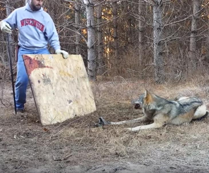 wolf3 - Un loup a été pris au piège dans les bois et un homme a décidé de le libérer sans aucune crainte