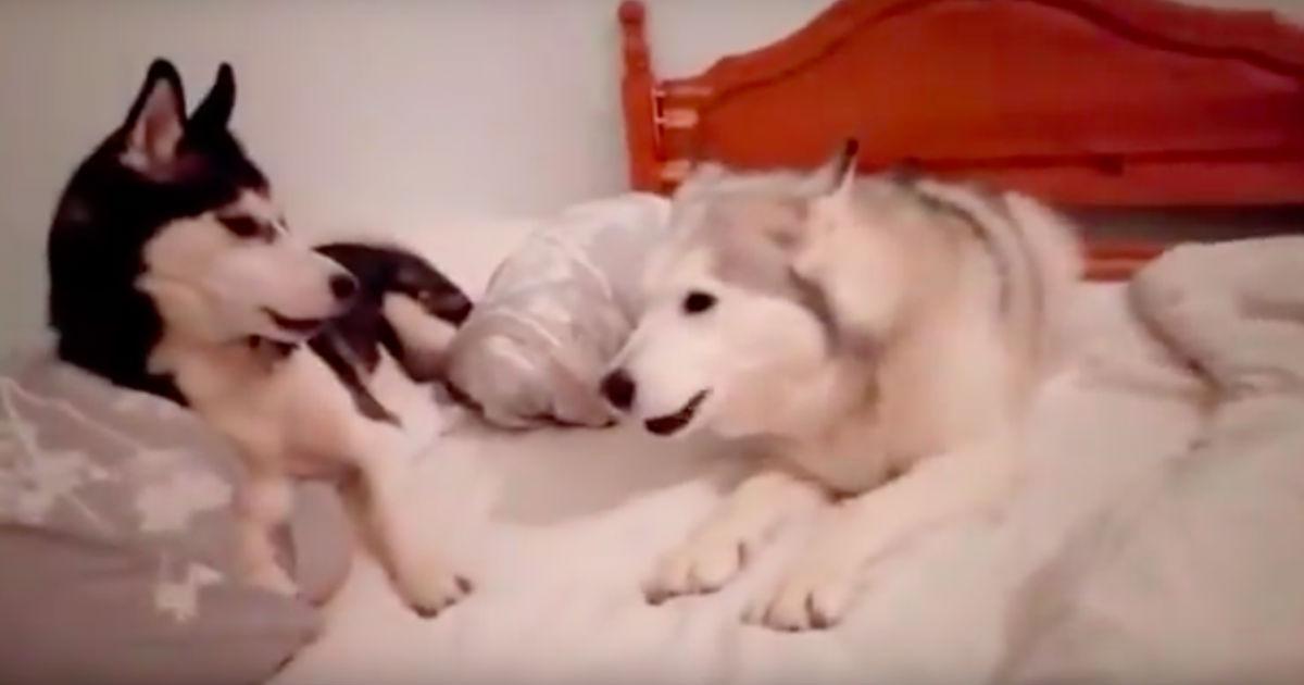 """adorable quarrel between two puppies 1 - Prepare-se para dar risada com essa """"briga"""" entre dois cachorros - Que mais parece uma discussão de casal!"""