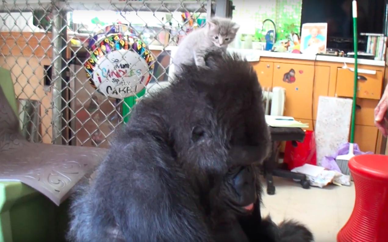 sans enfant-gorille-nourritures-et-adopte-chatons-6