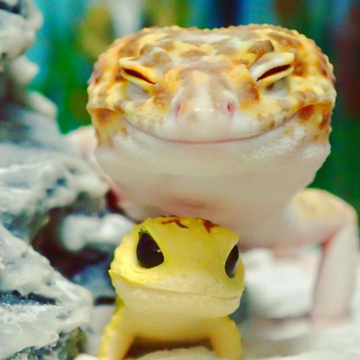 cute happy gecko with toy kohaku 1 591e9c32b76f1  700 - Cute Gecko Finds His New BFF, A Toy Gecko And Falls In Love With Him. This Story Will Definitely Make Your Day.
