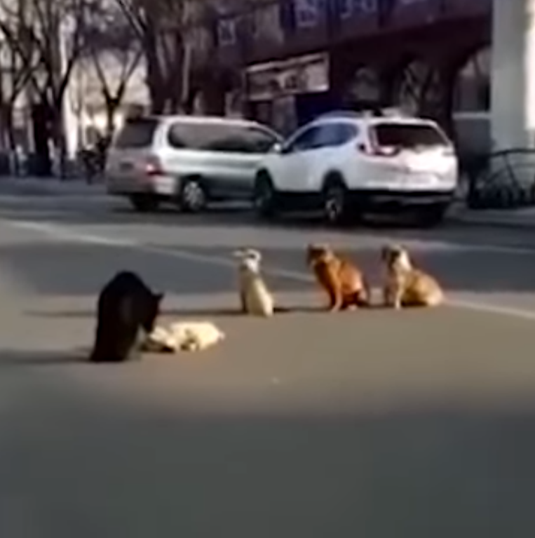 dogs3 - Grieving Stray Dogs Block Traffic To Protect The Body Of Another Dog Killed In Hit And Run