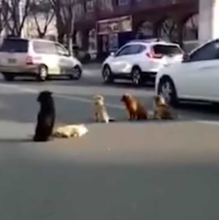 dogs4 - Grieving Stray Dogs Block Traffic To Protect The Body Of Another Dog Killed In Hit And Run
