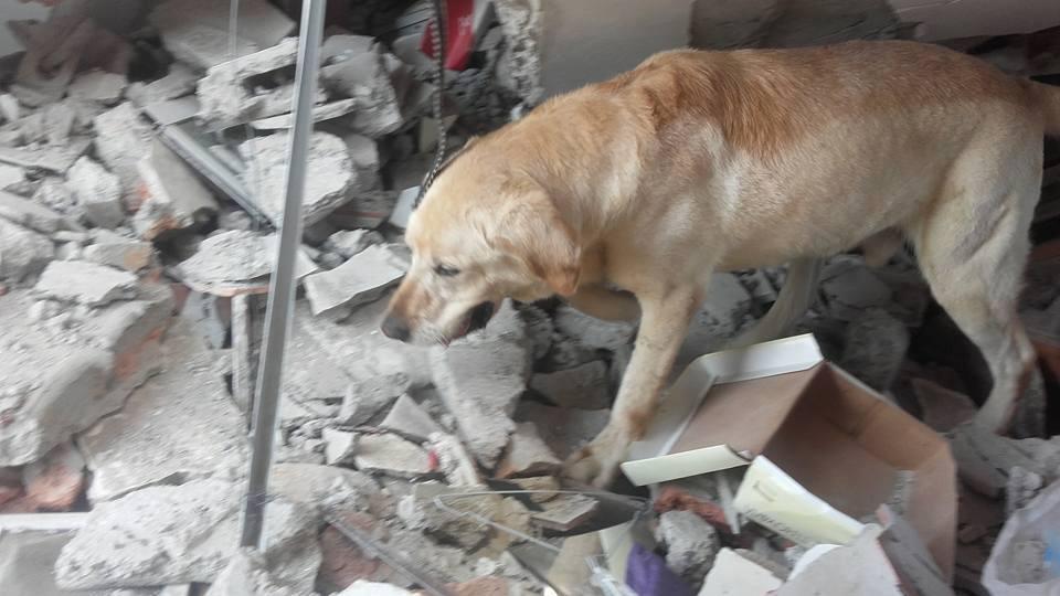 img 5a7e09e37b727 - 搜救犬在災區「全力救援」找到生還者後自己卻不幸殉職...