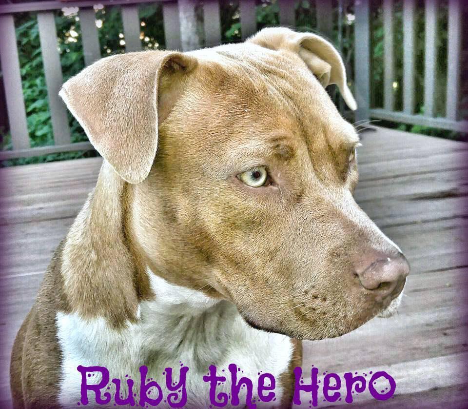 ruby pitbull 2 - Pit Bull Goes In A Barking Spree Sensing Huge Danger