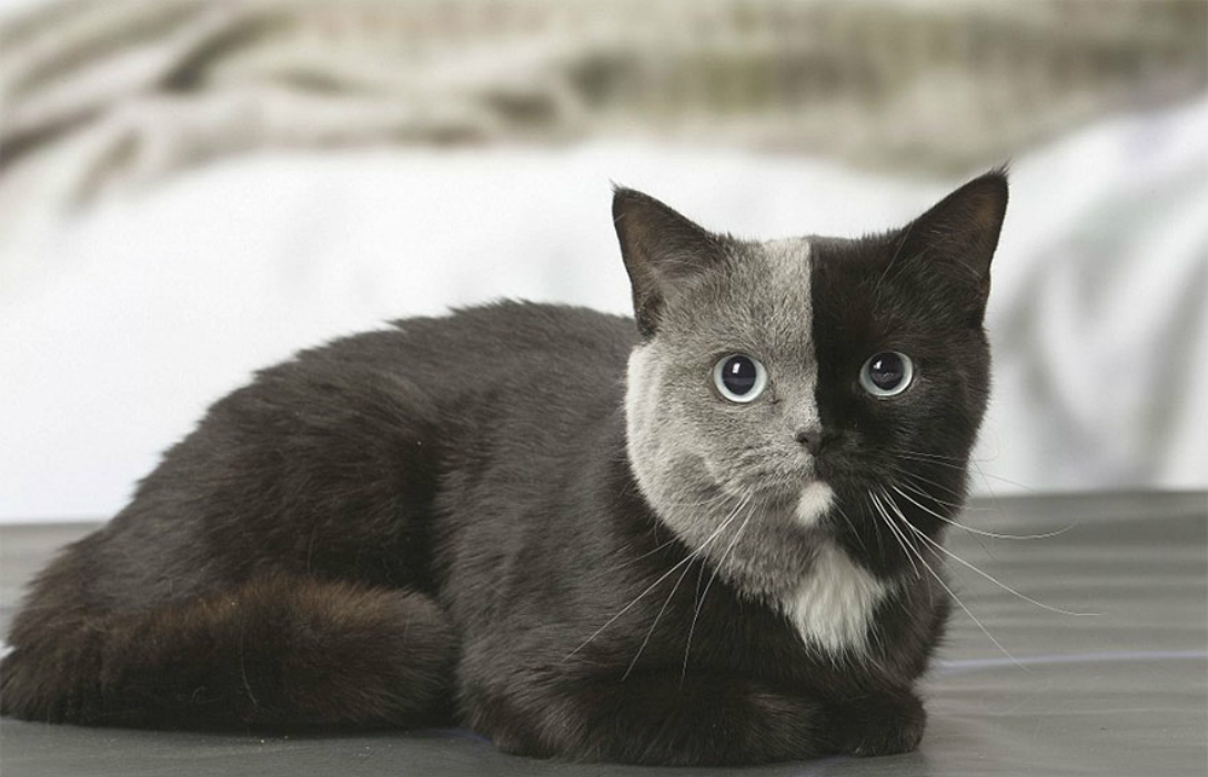 two-faced-cat-british-short-hair-france-jean-michel-labat-2-5a8e7d5e5db4f__880