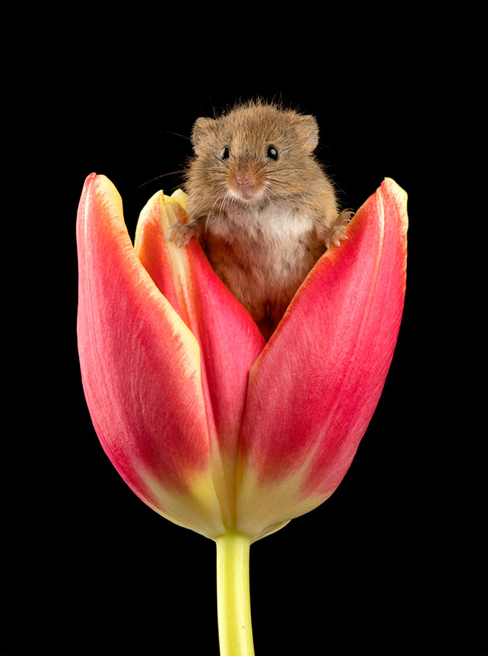 mice-and-tulips-10