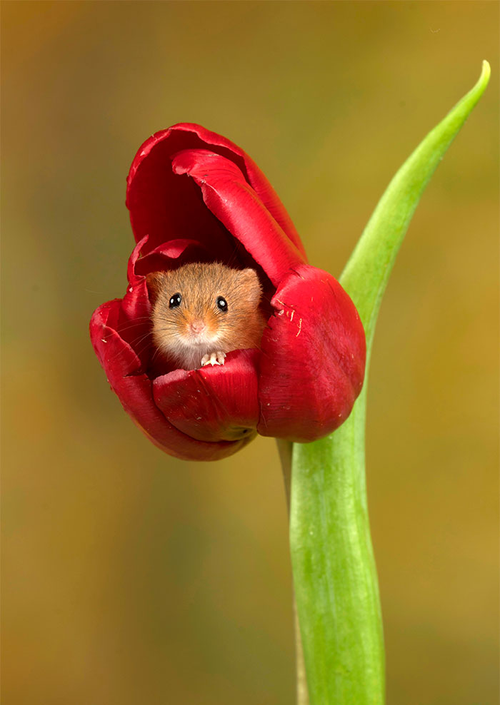 mice-and-tulips-4
