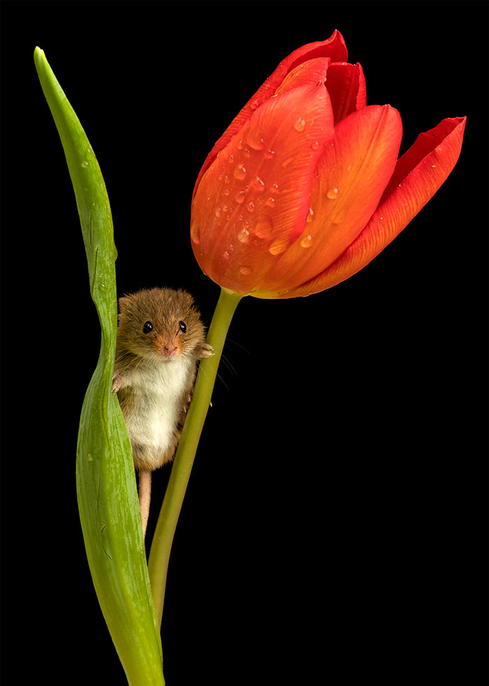 mice-and-tulips-7