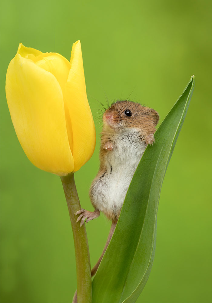 mice-and-tulips-8